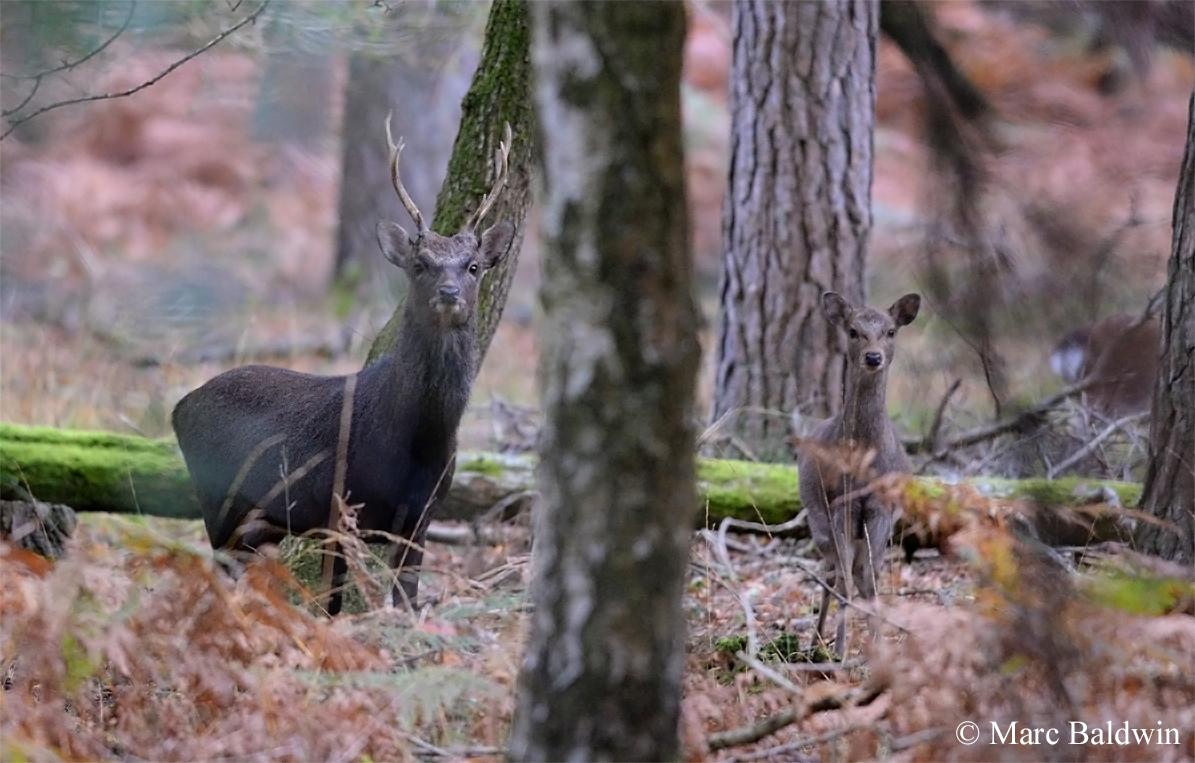 Red Deer Genetic Diversity & Hybridization   Wildlife Online