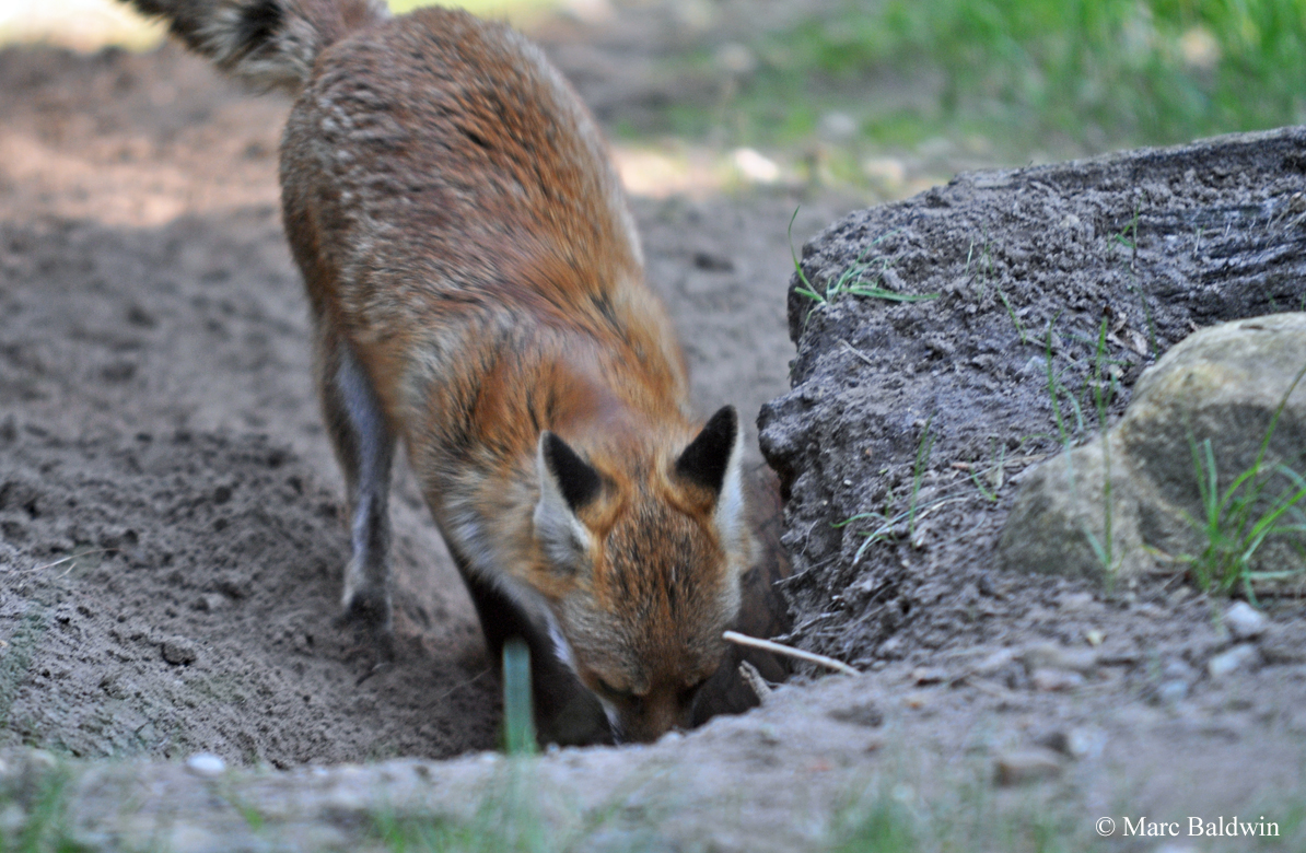 Do Foxes Badgers Bury Their Dead Wildlife Online