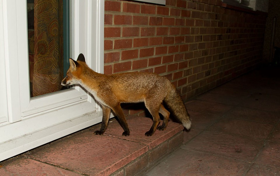 howto deter foxes in the garden