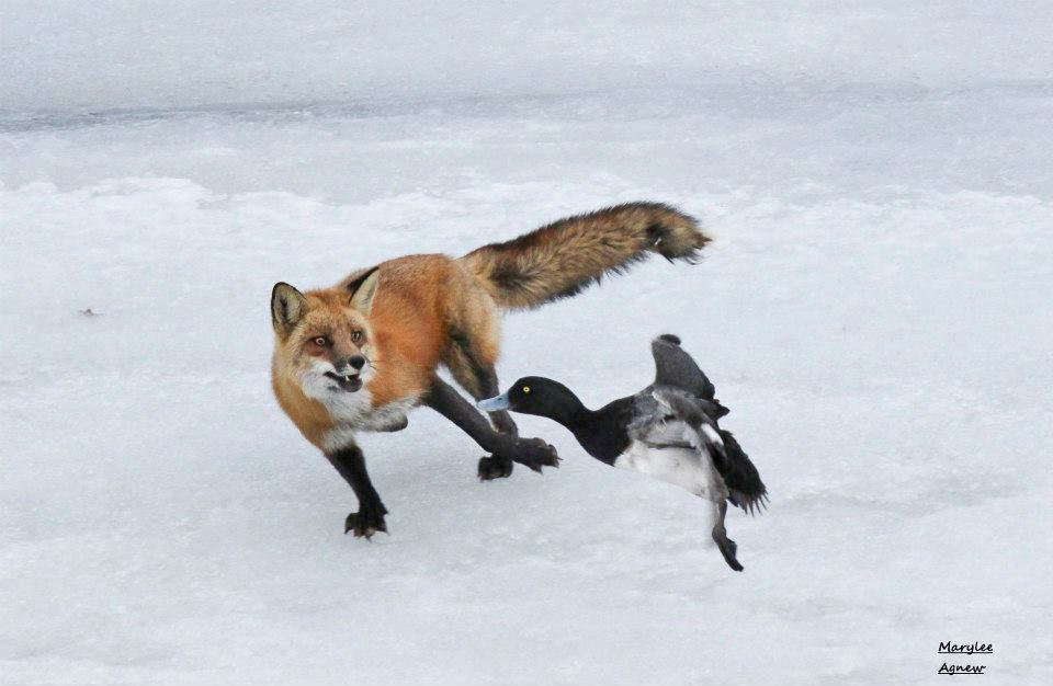 foxes low fat diet?