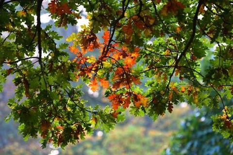Autumnal oak leaves