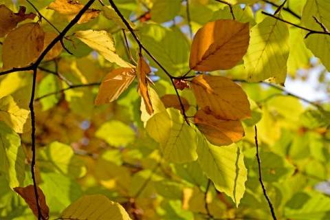 Autumnal beech leaves