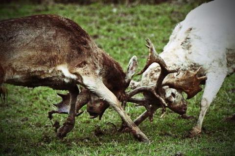 Fallow deer clashing