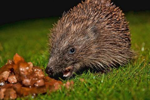 Hedgehog eating catfood
