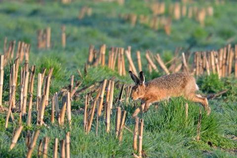 March hare in Hampshire