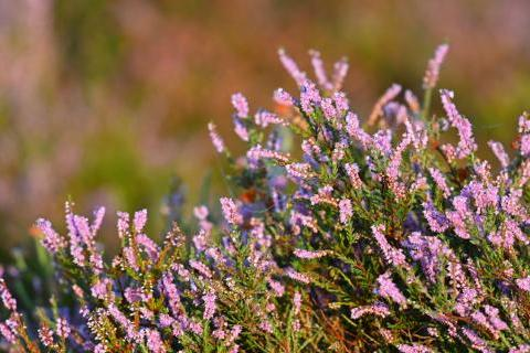 New Forest heather in bloom