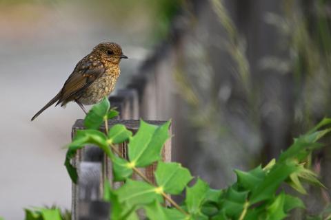 European robin fledgling