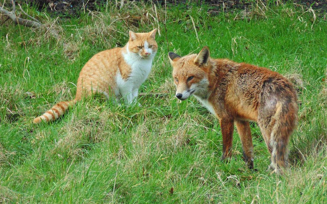 Red Fox Size | Wildlife Online