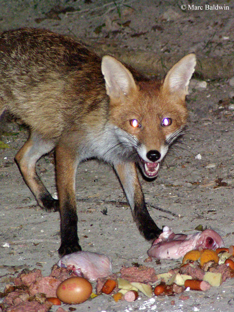 Deterring Foxes Wildlife Online Fourwire Electric Fence System Best Control Of Deer Access To Food In Some Urban Areas Put Out By Householders May Surpass The Nutritional Needs Territory Holder Resulting Territorial Changes