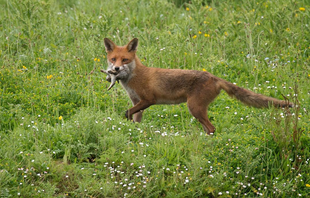 Fox and Rabbits Garden