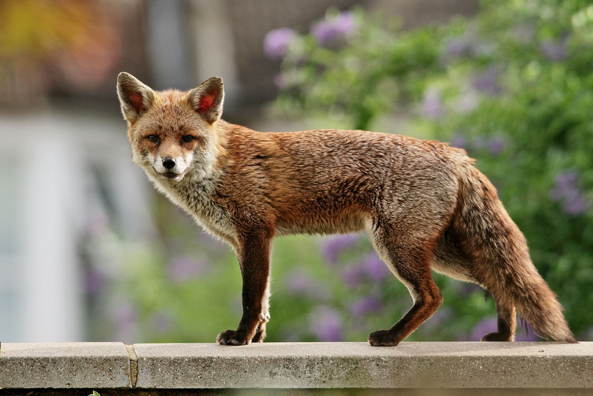 The Red Fox: Symposium on Behaviour and Ecology