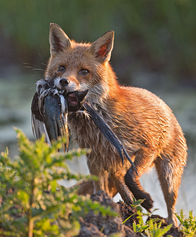 Do Foxes Kill For Fun Wildlife Online