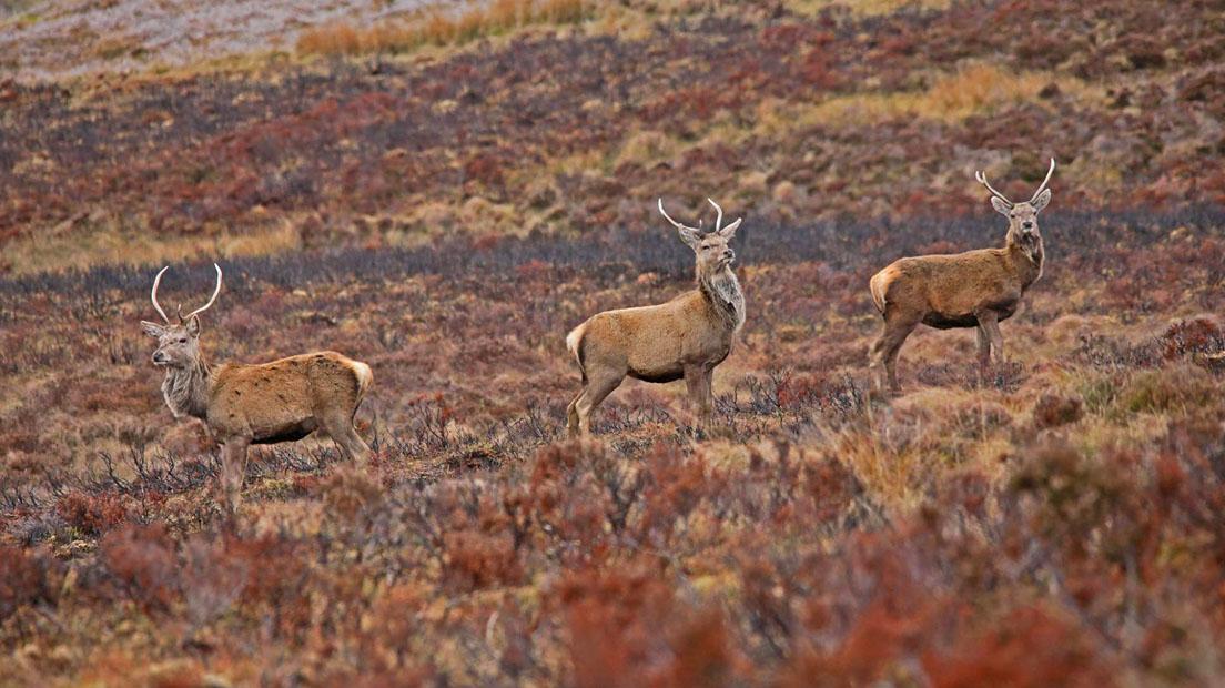 red deer diet forest plants