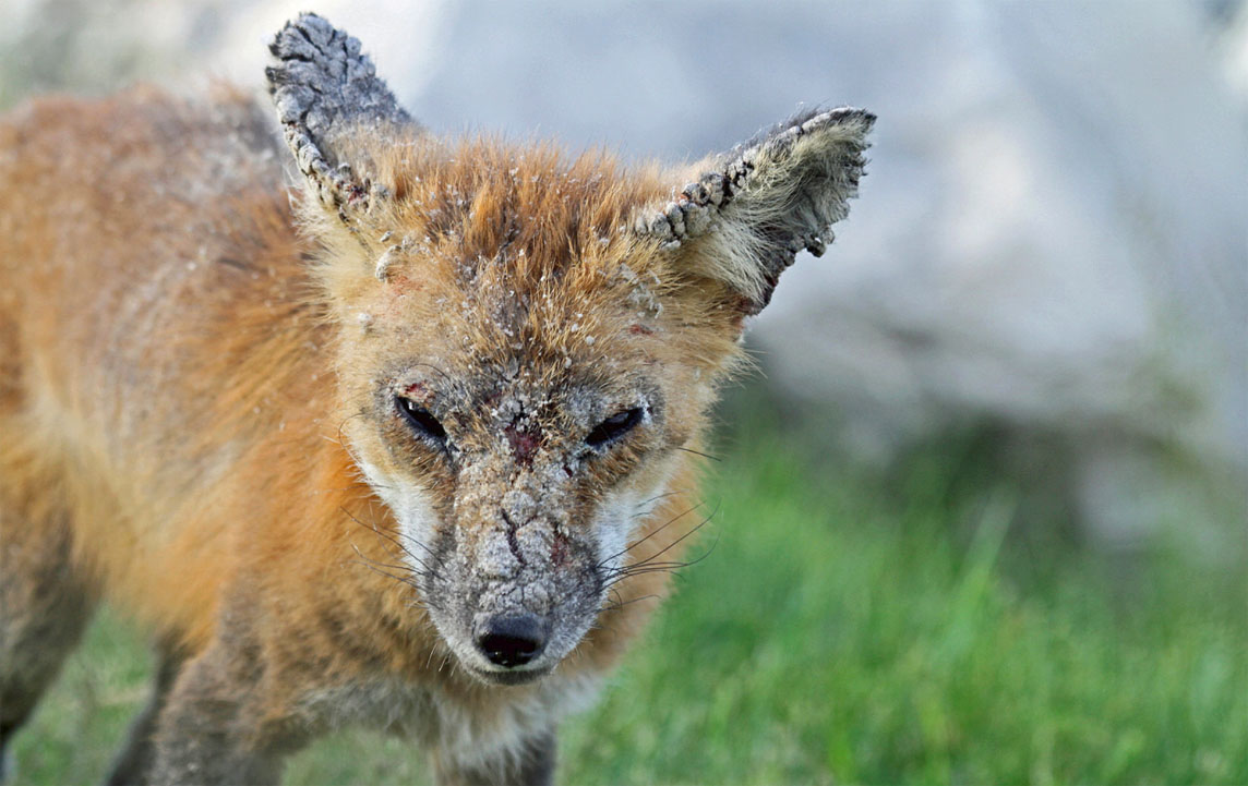 mange in the red fox wildlife online