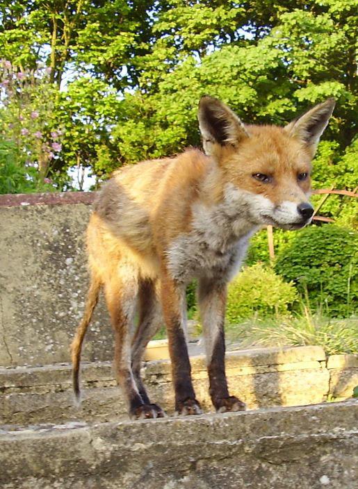 Mange in the Red Fox | Wildlife Online