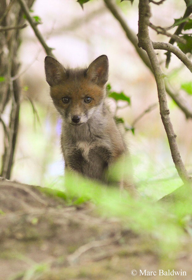 I Have Taken In An Injured Fox Cub And Would Like To Keep It As A Pet Is This Illegal Wildlife Online
