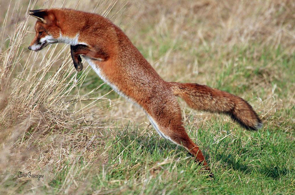 Red Fox Diet - Hunting Strategies & Behaviour | Wildlife Online