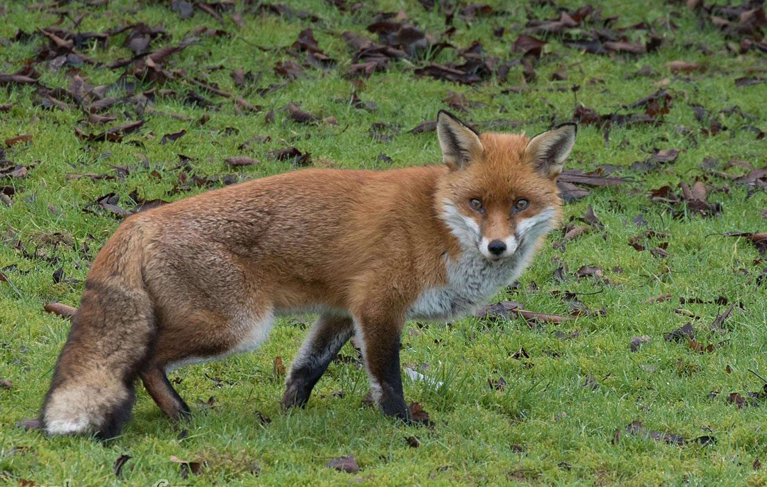 Red Fox Appearance Wildlife Online